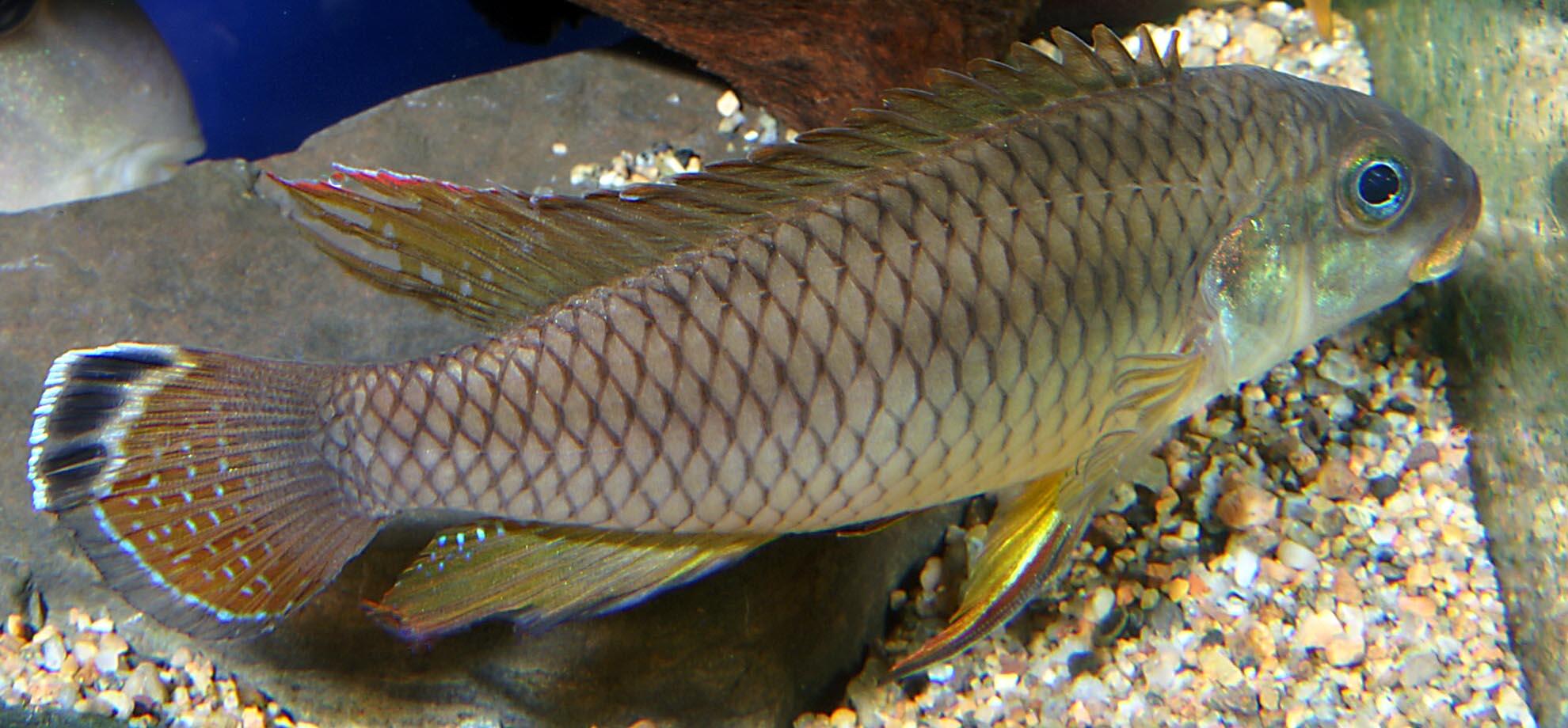 Pelvicachromis taeniatus  quot Wouri quot  male Pelvicachromis Taeniatus Wouri